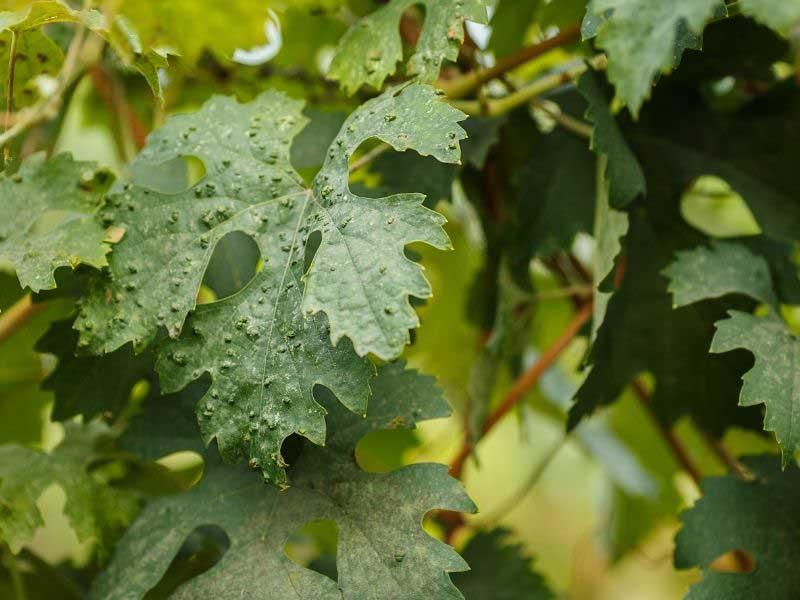 list vinove loze za vene i kapilare